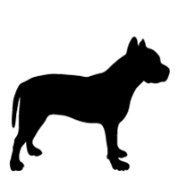 American Pit Bull (ears cropped)