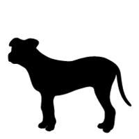 American Pit Bull (natural ears)