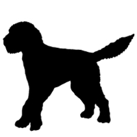 Goldendoodle (Straight Tail)